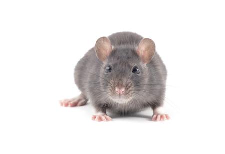 rata: rata de cerca aisladas sobre fondo blanco Foto de archivo