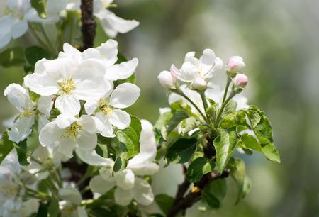 arbol de manzanas: flor de primavera de manzano con flores blancas