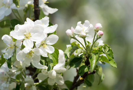 flower tree: spring blossom of apple tree with white flowers Stock Photo