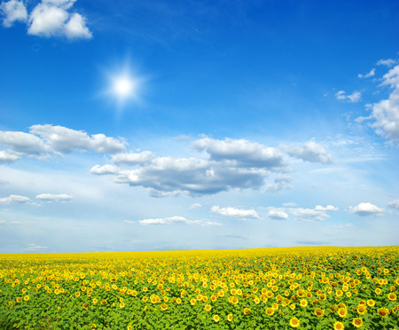 field of sunflowers and blue sun sky Foto de archivo
