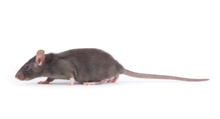 rat: rat close-up isolated on white background