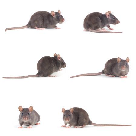 rat isolated on white background Standard-Bild