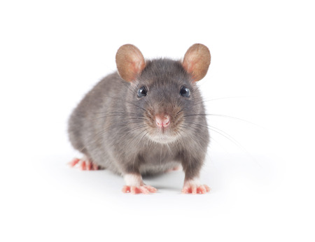 isolated on grey: funny rat close-up isolated on white background