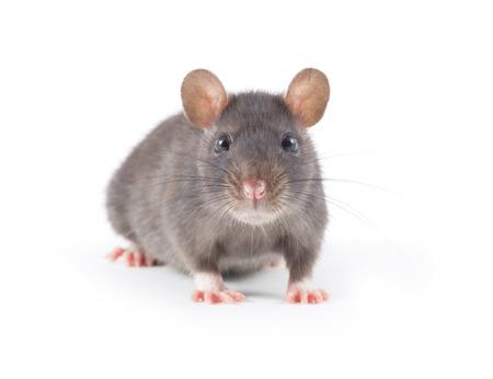 raton: funny rata close-up aislados en fondo blanco  Foto de archivo