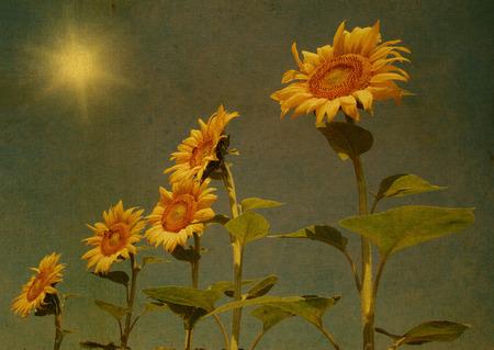 sunflower field: Vintage sunflower field