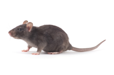 rat close-up isolated on white background