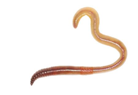 lombriz: Primer plano de la lombriz en blanco
