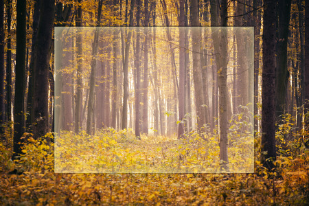 sunbeams: Golden autumnal forest with sunbeams Stock Photo
