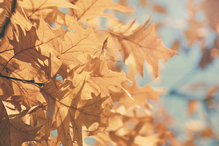 dept: Yellow maple leaves on a twig in autumn