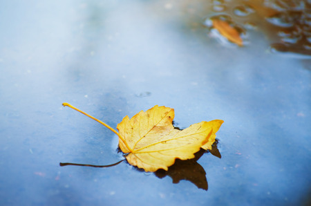 yellow fallen leaves lie on the surface of the puddle in autumn