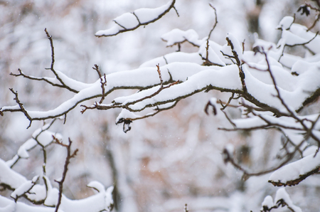 Background of snow on the branches of trees