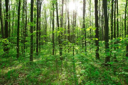 Forest trees. nature green wood with sunlight background