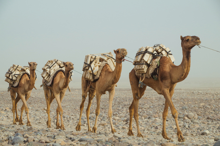 Camels caravan with blocks of salt of the Danakil Depression. Ethiopian salt trade maintains ancient traditions of centuries. Ethiopia, Afar Depression (Afar Triangle)