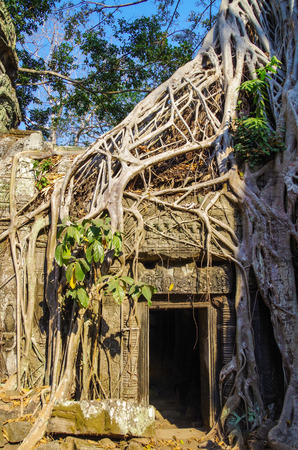 Temple Ta Prohm. Tree growing out of the ruins. Strangler fig (Ficus gibbosa), with endless thin, smooth and gray roots. Place of shooting Lara Croft: Tomb Raider. Angkor, Cambodia, Siem Reap