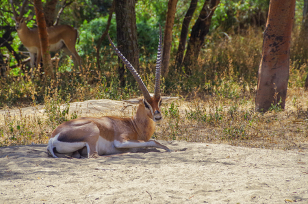 Wildlife of Africa. Antelope. Impala. Close view of a male, with characteristic horns. Inhabit in woodlands. Nature and travel. Ethiopia, Rift Valley, Oromia Region, Abijatta-Shalla National Park Banco de Imagens