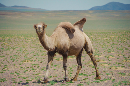 Young domesticated Bactrian camel. Pack animal since ancient times. Tolerance for cold, drought, and high altitudes. Travel of caravans on the Silk Road. Nature and travel. Mongolia