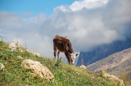 Young calf is grazed on montane grassland, alpine meadow. Height 2500 m above sea level. Nature and travel. Russia, North Caucasus, Dagestan