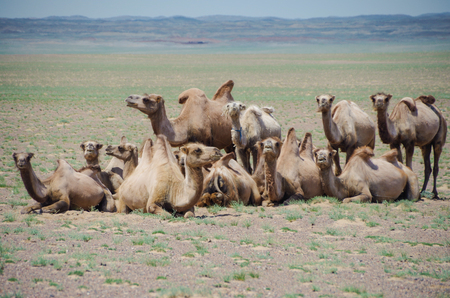 Herd of domestic Bactrian camels. Pack animal since ancient times. Tolerance for cold, drought, and high altitudes. Travel of caravans on the Silk Road. Nature and travel. Mongolia, Uvs Province Stok Fotoğraf