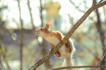 Scent of spring is in the air. Squirrel on the dome of the temple. Russia, Pskov Oblast, Pechory
