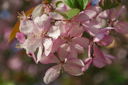 Colorful spring flowers. Blossoming Cherry on natural day. Russia Stok Fotoğraf