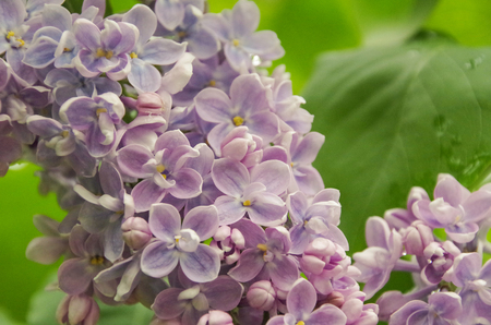 Colorful spring flowers. Blossoming syringa branch after rain on blurred natural green background. Russia Stok Fotoğraf
