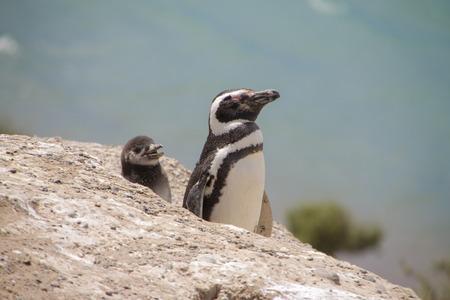 Valdes Peninsula. Magellanic penguins. Adult and chick. Coastline of Atlantic Ocean.