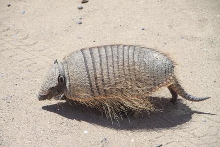 Pichi or dwarf armadillo in natural habitat. Pampas of Argentina. Valdes Peninsula.