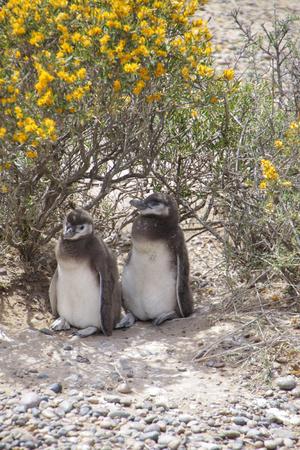 Magellanic penguins. Chicks at the Patagonian Coast of the Atlantic Ocean. Valdes Peninsula