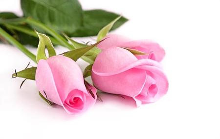 흰색 배경에 세 핑크 장미