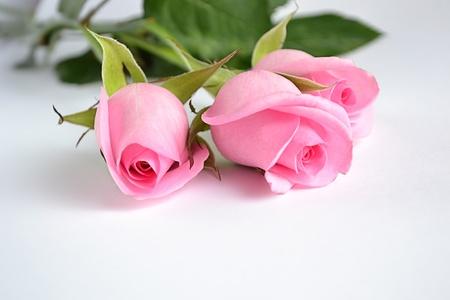 白い背景の上の 3 つのピンクのバラ