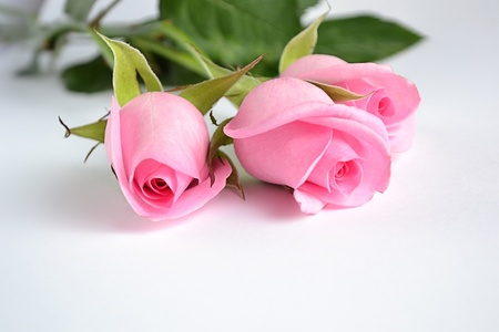 Three pink roses on white background Stock Photo