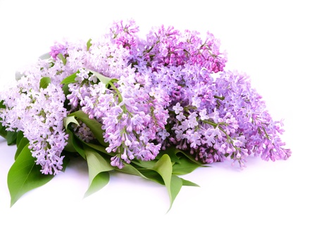 lilac: Bouquet lilac blossom on white background