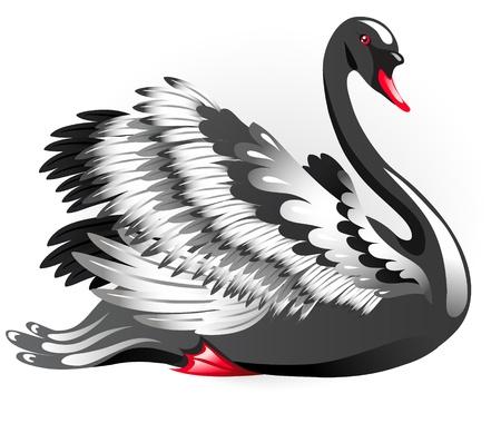 Elegant black swan isolated on a white background