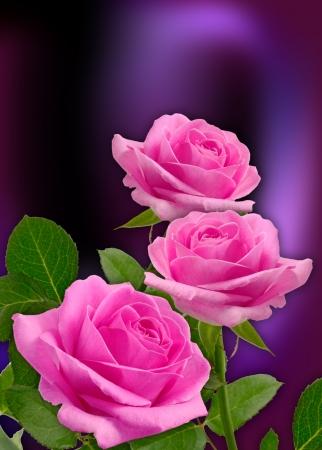 bouquet fleur: Carte avec des roses rose