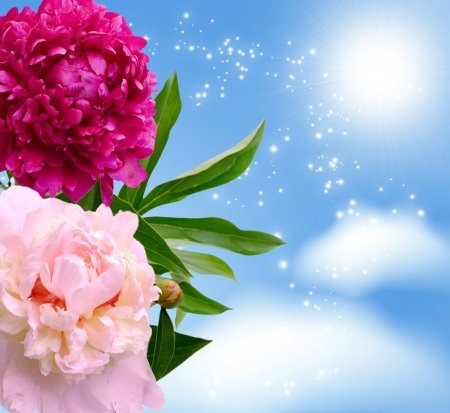 romanticism:  Two peonies on the sky background Stock Photo