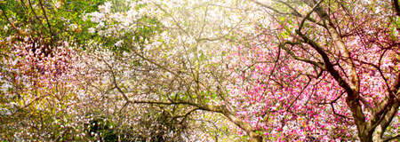 Amazing magic blooming spring magnolia flowers garden. Fantasy springtime background with magnoliacaeae trees. World Environment Day concept.