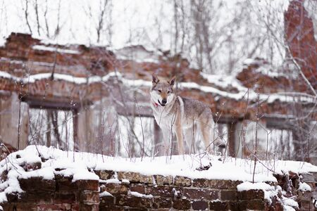 a wolf stands on a brick wall
