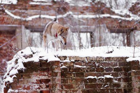 a wolf stands on a brick wall 免版税图像