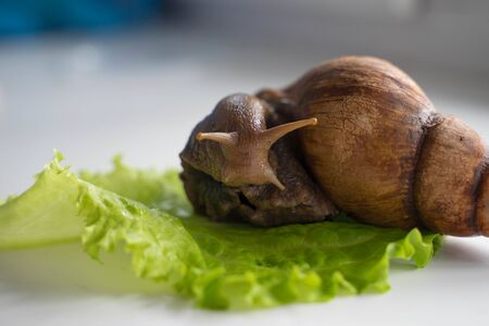 Achatina big snail sits on lettuce leaf
