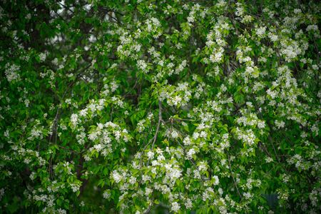 apple tree in white flowers and yellow buds