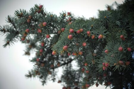 spruce branches with small cones in spring Foto de archivo