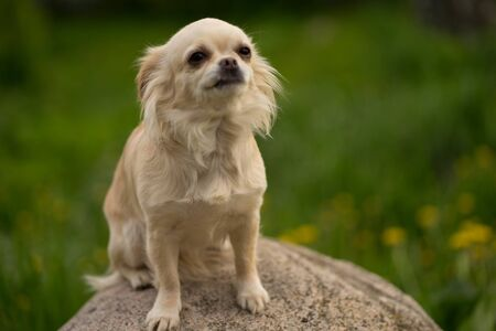 beige chihuahua dog sitting on a stone