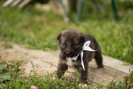 small brown dog with a white bow