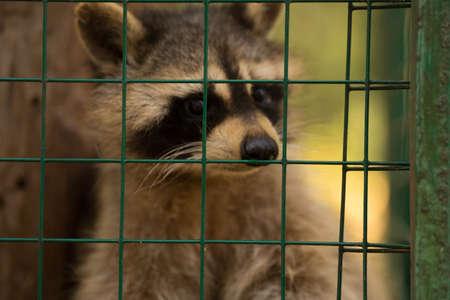 fluffy raccoon sitting in a cage