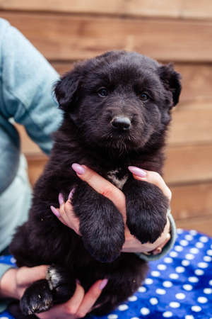 little black puppy on the table Stock Photo