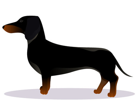 Black dachshund vector illustration Illustration