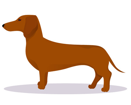Haired dachshund vector illustration Illustration