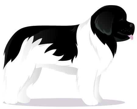 newfoundland: Newfoundland dog white vector illustration