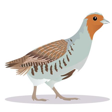 Oiseau Partridge