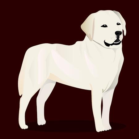 labrador: Labrador retriever dog vector illustration.